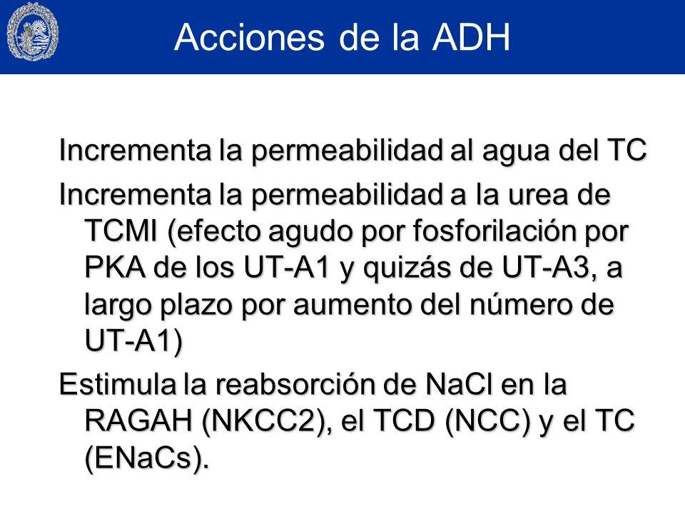 Acciones de la ADH Incrementa la permeabilidad al agua del TC