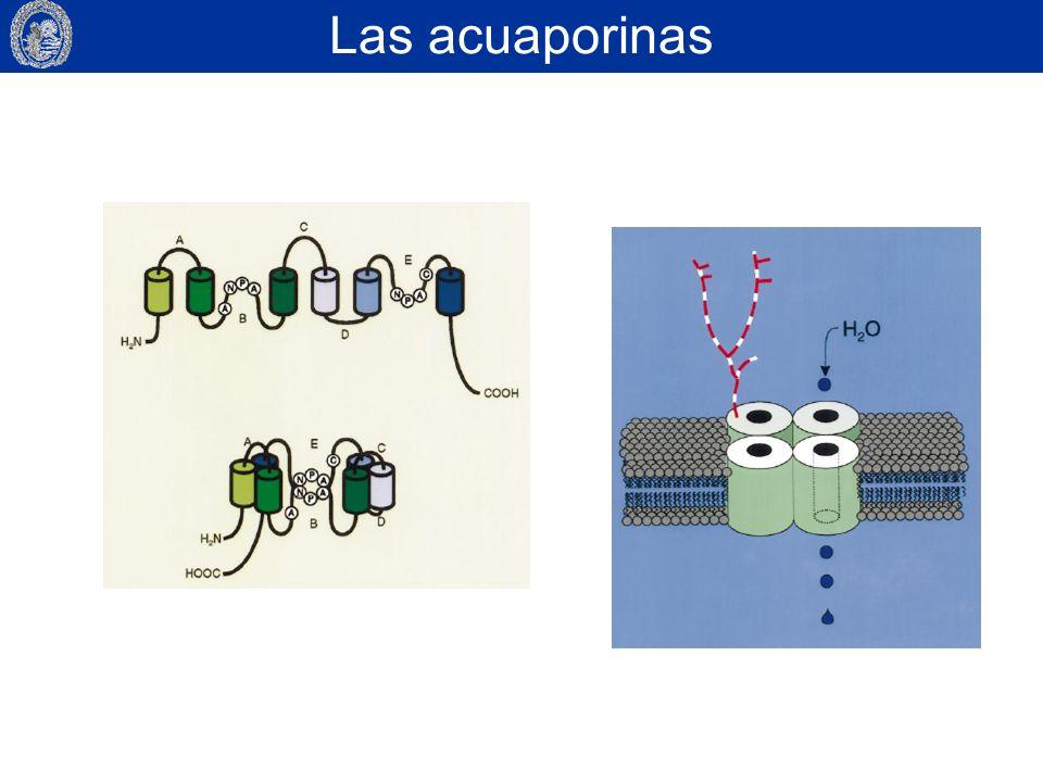 Las acuaporinas