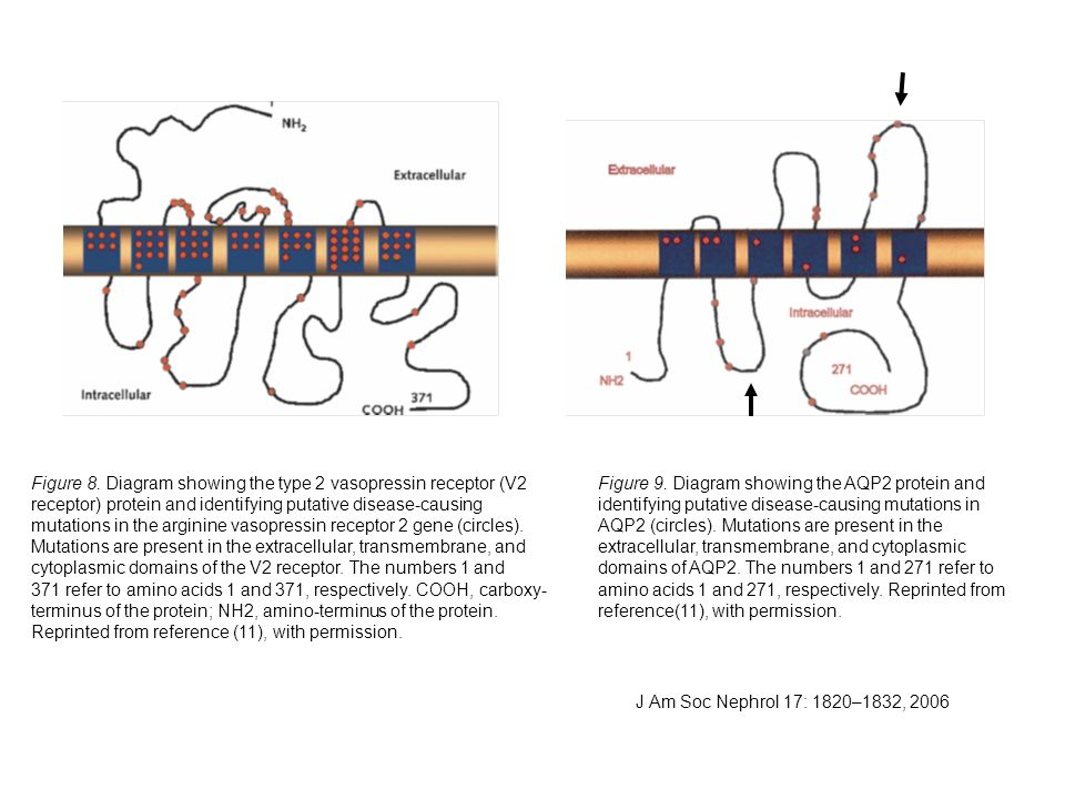 Figure 8. Diagram showing the type 2 vasopressin receptor (V2