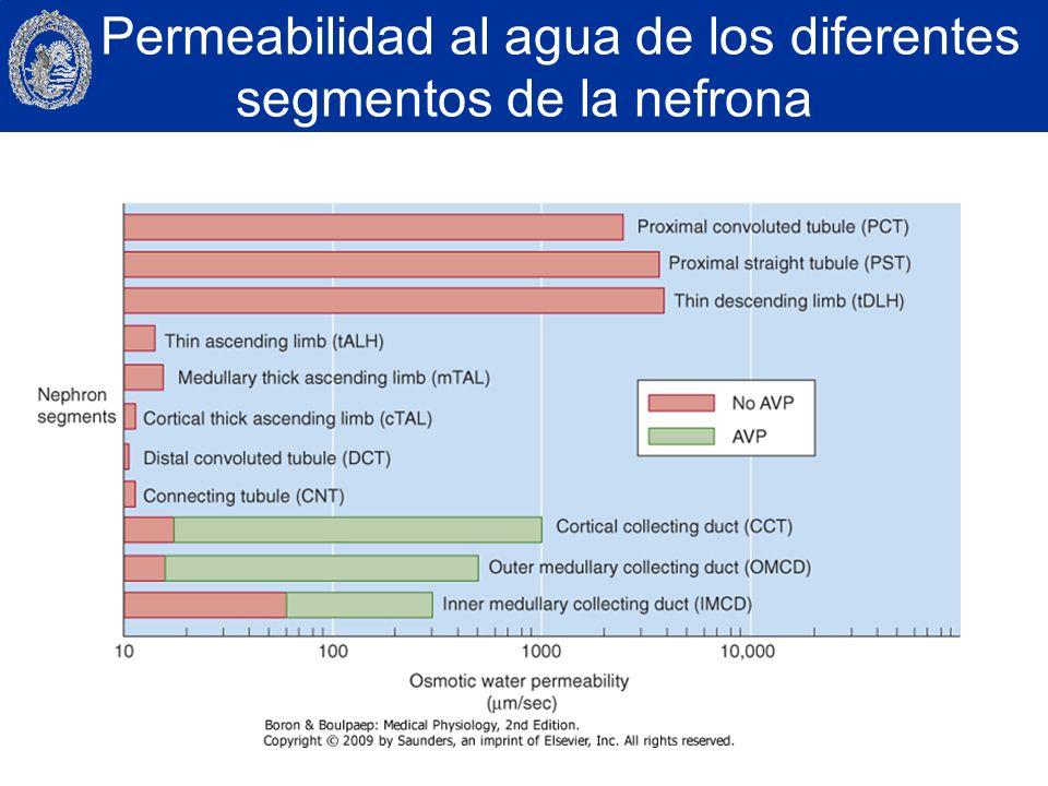 Permeabilidad al agua de los diferentes segmentos de la nefrona
