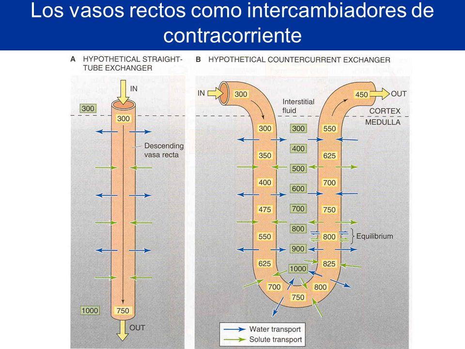 Los vasos rectos como intercambiadores de contracorriente