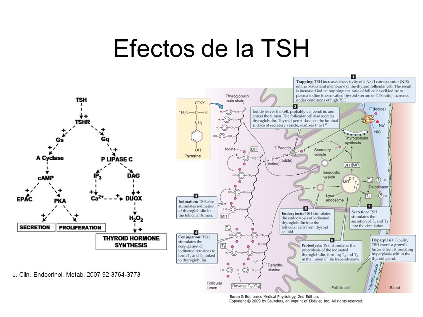 Efectos de la TSH J. Clin. Endocrinol. Metab :
