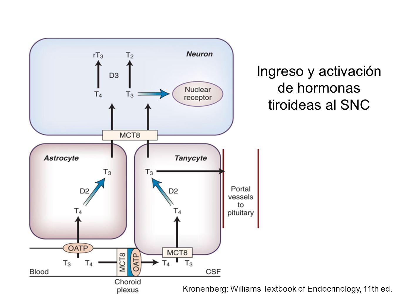 Ingreso y activación de hormonas tiroideas al SNC