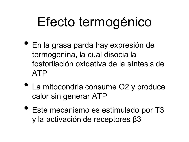 Efecto termogénico En la grasa parda hay expresión de termogenina, la cual disocia la fosforilación oxidativa de la síntesis de ATP.