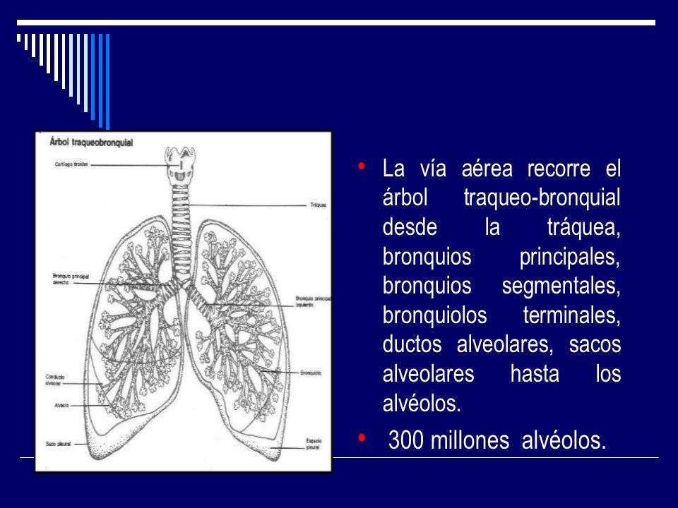 La vía aérea recorre el árbol traqueo-bronquial desde la tráquea, bronquios principales, bronquios segmentales, bronquiolos terminales, ductos alveolares, sacos alveolares hasta los alvéolos.