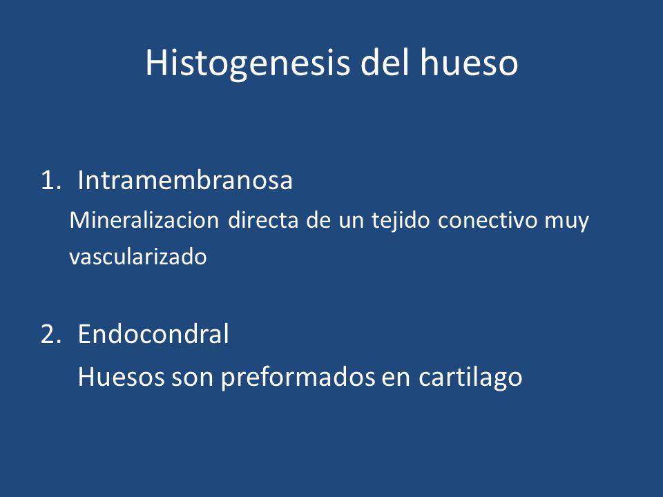 Histogenesis del hueso