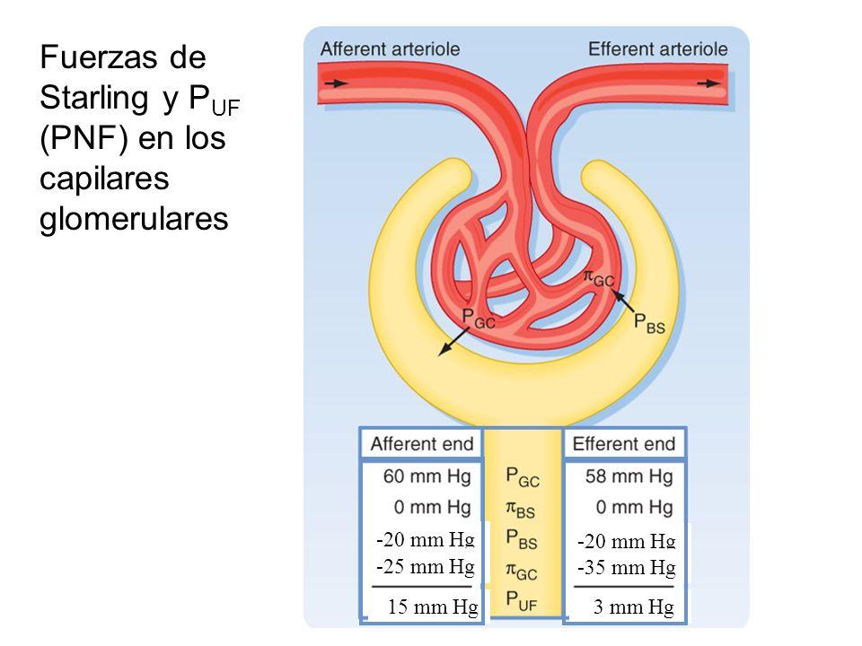 Fuerzas de Starling y PUF (PNF) en los capilares glomerulares