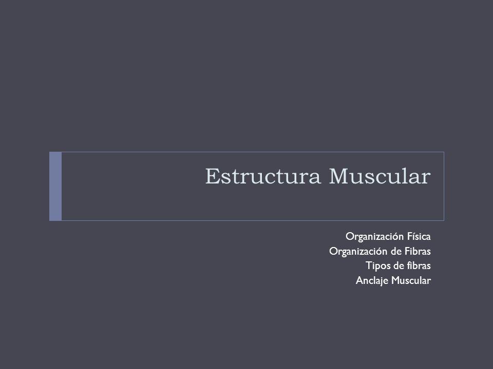 Estructura Muscular Organización Física Organización de Fibras