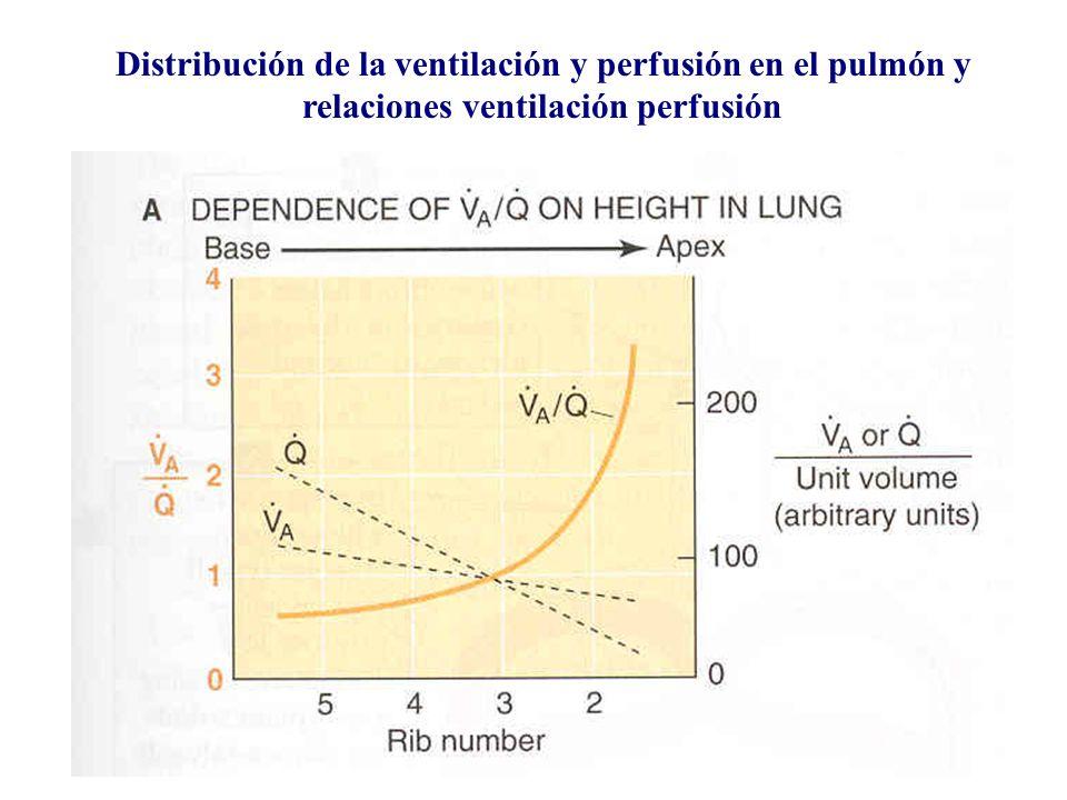 Distribución de la ventilación y perfusión en el pulmón y relaciones ventilación perfusión