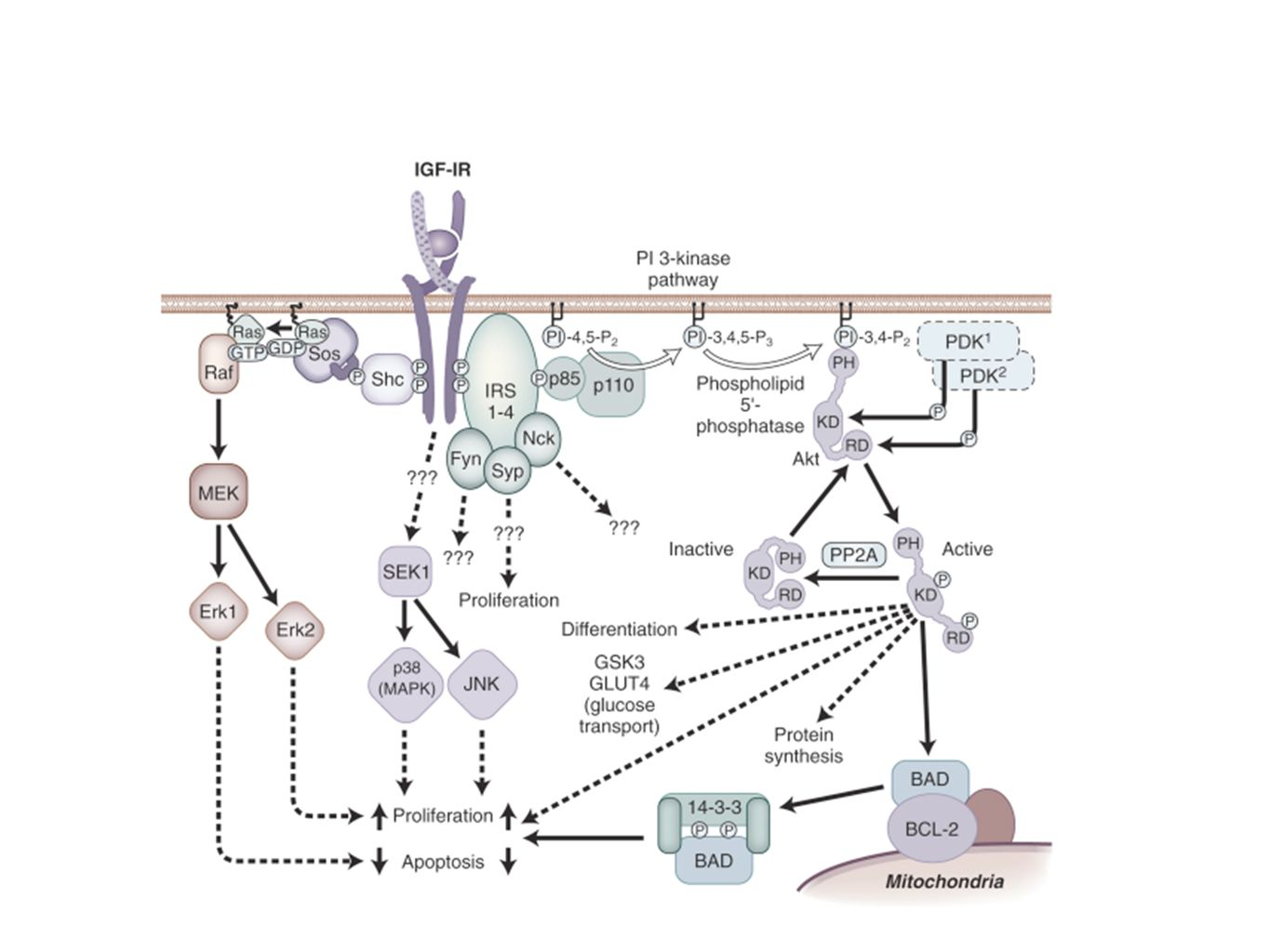 Schematic representation of intracellular signaling pathways of the IGF-I receptor.