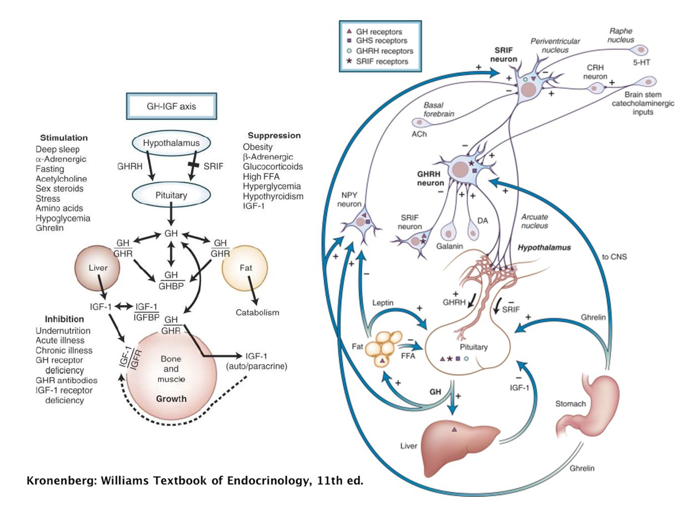 Regulation of the hypothalamic-pituitary-growth hormone (GH) axis
