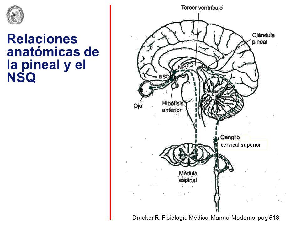 Relaciones anatómicas de la pineal y el NSQ
