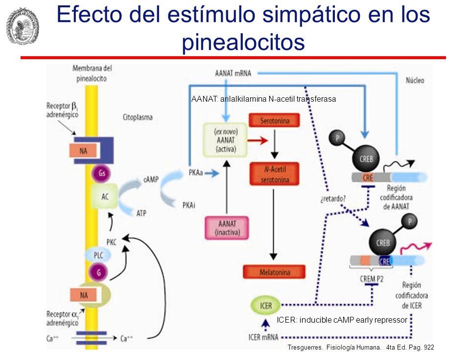 Efecto del estímulo simpático en los pinealocitos