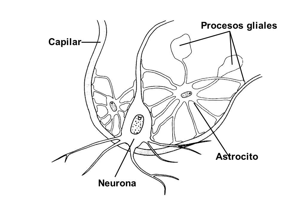 Procesos gliales Capilar Astrocito Neurona