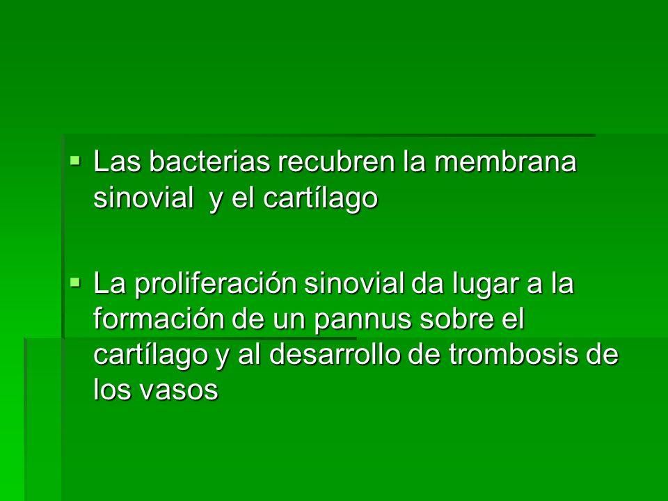 Las bacterias recubren la membrana sinovial y el cartílago
