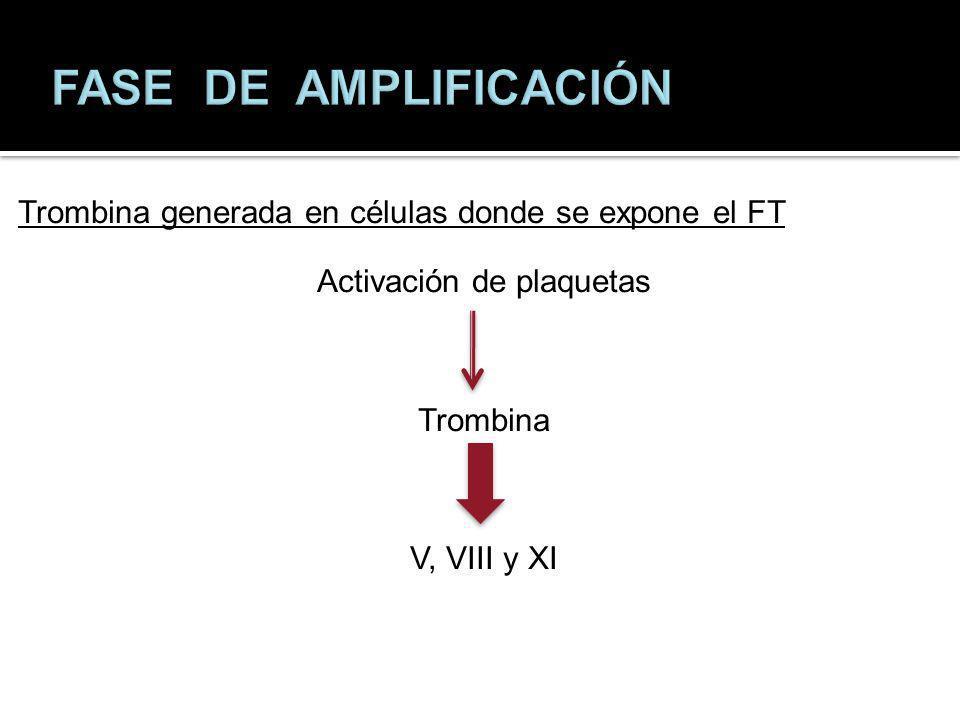 FASE DE AMPLIFICACIÓN Trombina generada en células donde se expone el FT Activación de plaquetas Trombina V, VIII y XI