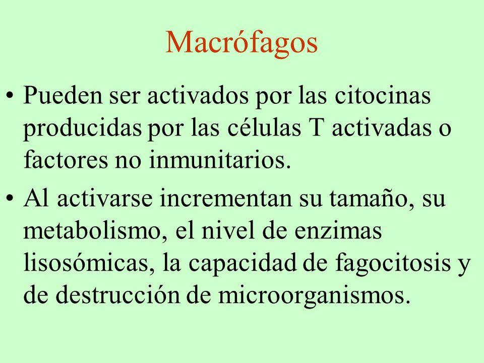Macrófagos Pueden ser activados por las citocinas producidas por las células T activadas o factores no inmunitarios.