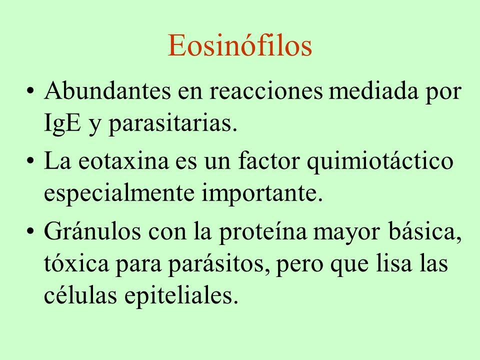 Eosinófilos Abundantes en reacciones mediada por IgE y parasitarias.