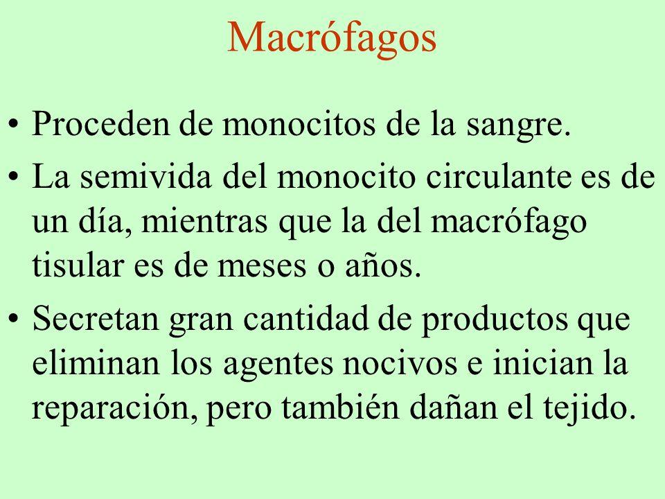 Macrófagos Proceden de monocitos de la sangre.