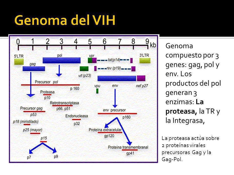 Genoma del VIH Genoma compuesto por 3 genes: gag, pol y env. Los productos del pol generan 3 enzimas: La proteasa, la TR y la Integrasa,