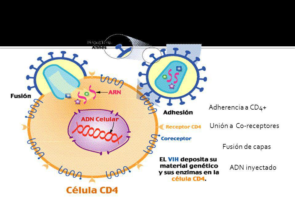 Adherencia a CD4+ Unión a Co-receptores Fusión de capas ADN inyectado