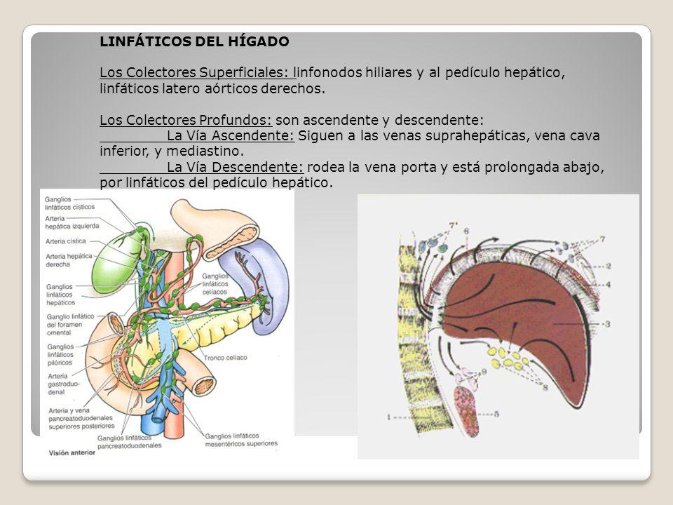 LINFÁTICOS DEL HÍGADO Los Colectores Superficiales: linfonodos hiliares y al pedículo hepático, linfáticos latero aórticos derechos.