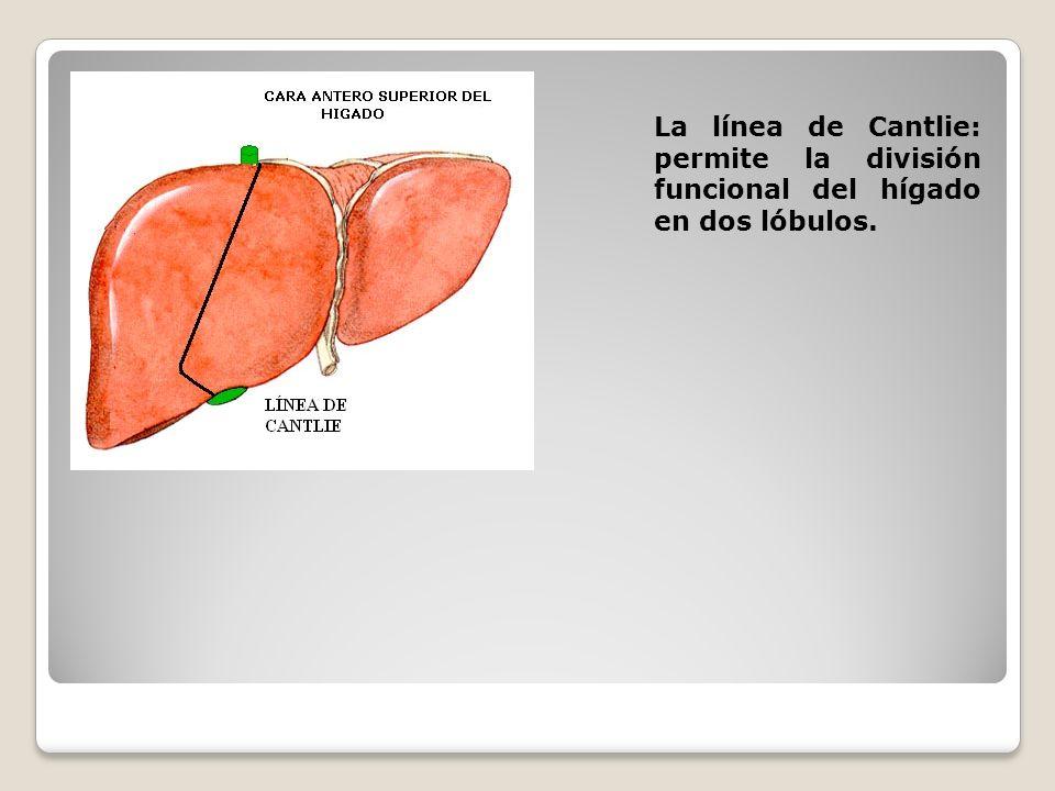 La línea de Cantlie: permite la división funcional del hígado en dos lóbulos.