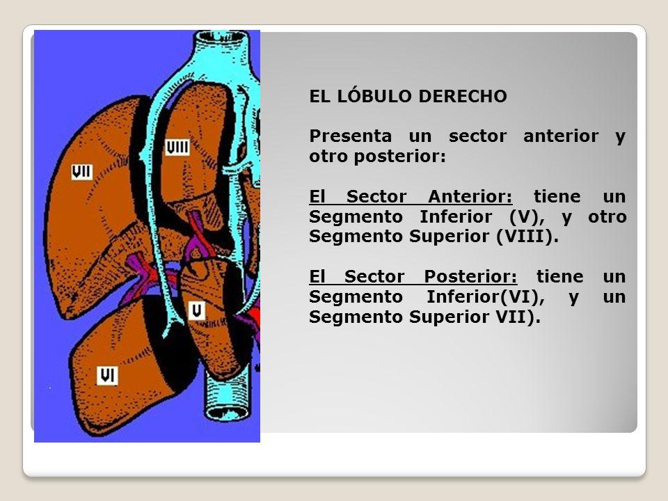 EL LÓBULO DERECHO Presenta un sector anterior y otro posterior: El Sector Anterior: tiene un Segmento Inferior (V), y otro Segmento Superior (VIII).