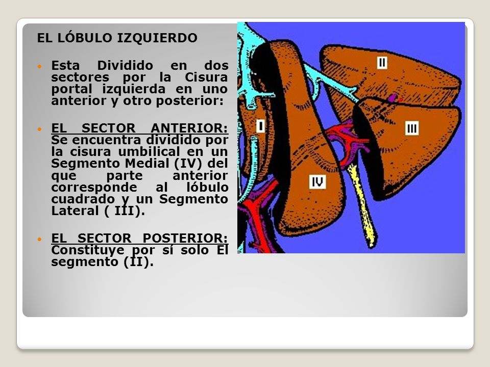 EL LÓBULO IZQUIERDOEsta Dividido en dos sectores por la Cisura portal izquierda en uno anterior y otro posterior: