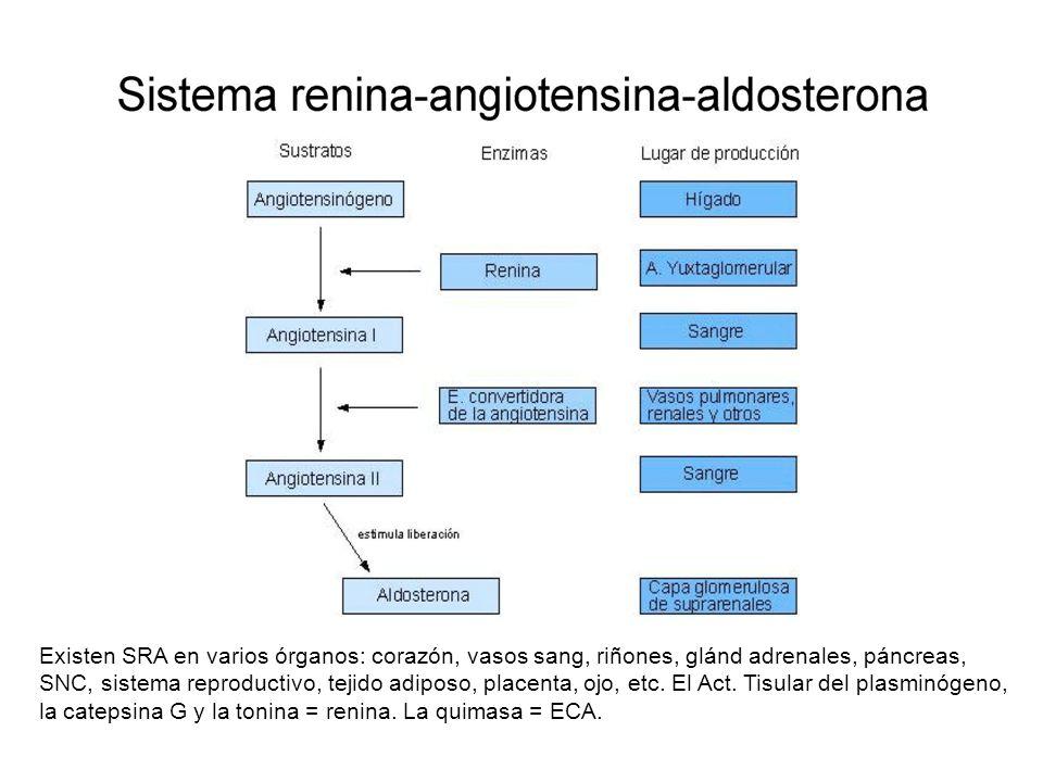 Existen SRA en varios órganos: corazón, vasos sang, riñones, glánd adrenales, páncreas, SNC, sistema reproductivo, tejido adiposo, placenta, ojo, etc.