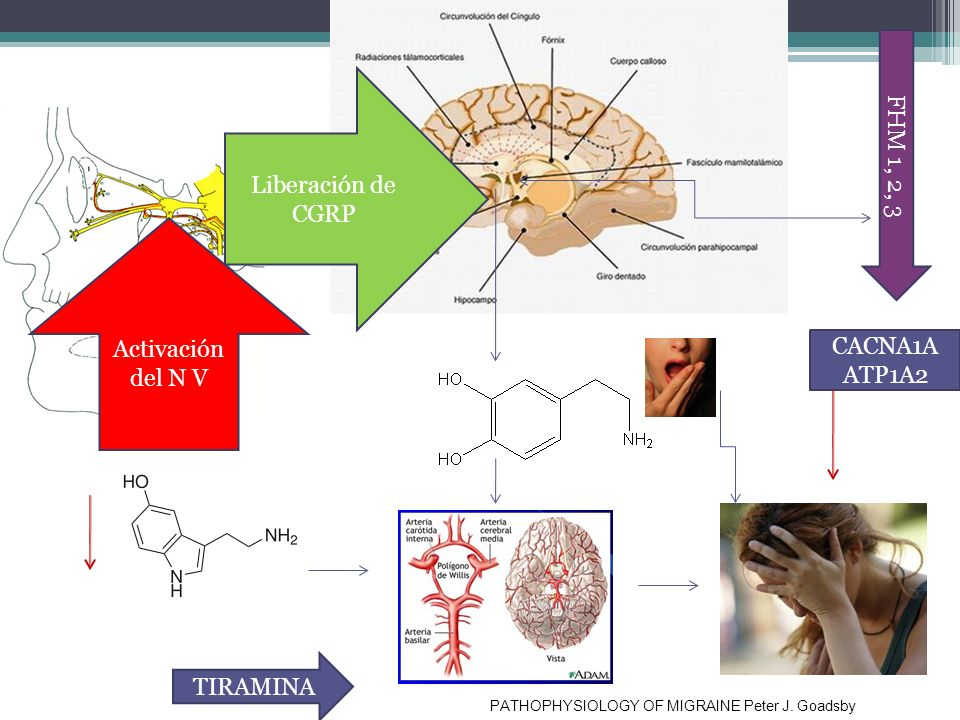 Fisiopatologia FHM 1, 2, 3 Liberación de CGRP Activación del N V