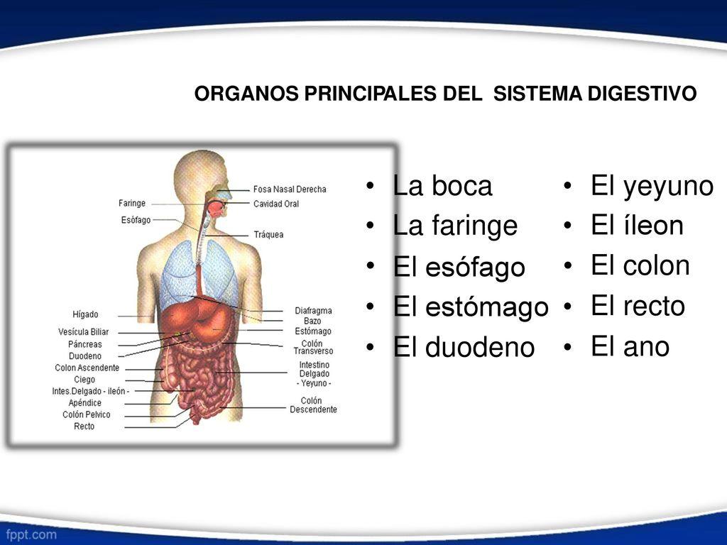 Lujo Menor órganos Anatomía Back Friso - Anatomía de Las Imágenesdel ...