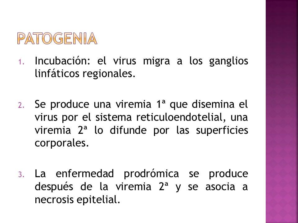 patogenia Incubación: el virus migra a los ganglios linfáticos regionales.