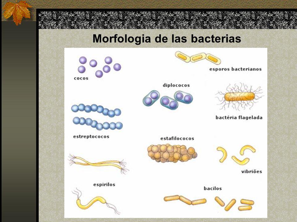 Morfologia de las bacterias