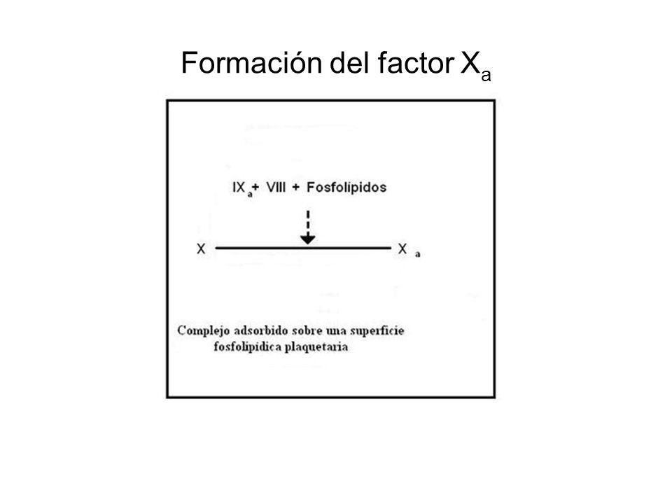 Formación del factor Xa