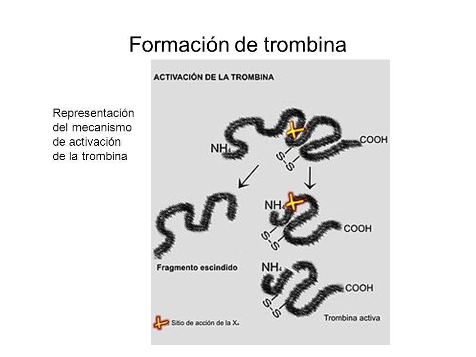Formación de trombina Representación del mecanismo de activación de la trombina
