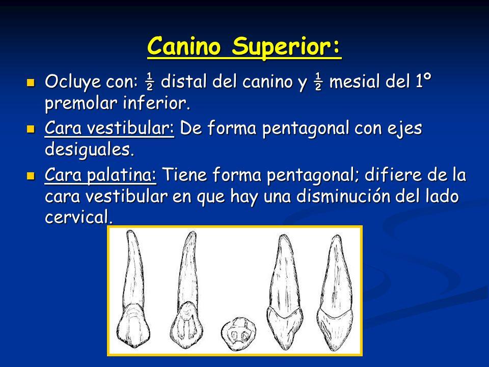 Canino Superior: Ocluye con: ½ distal del canino y ½ mesial del 1º premolar inferior. Cara vestibular: De forma pentagonal con ejes desiguales.