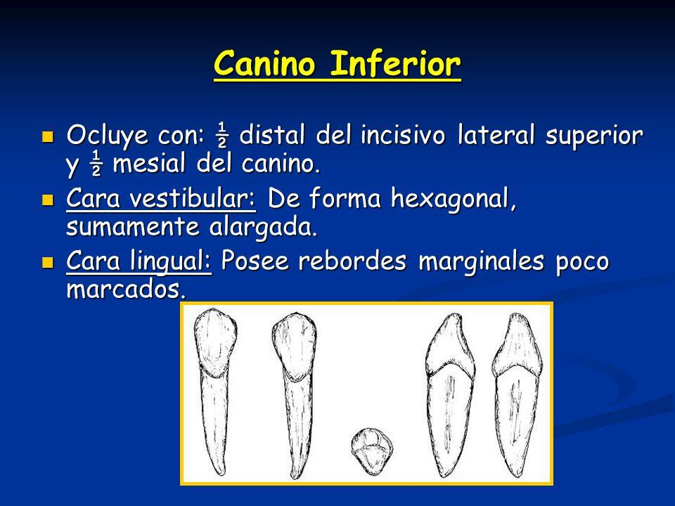 Canino Inferior Ocluye con: ½ distal del incisivo lateral superior y ½ mesial del canino. Cara vestibular: De forma hexagonal, sumamente alargada.