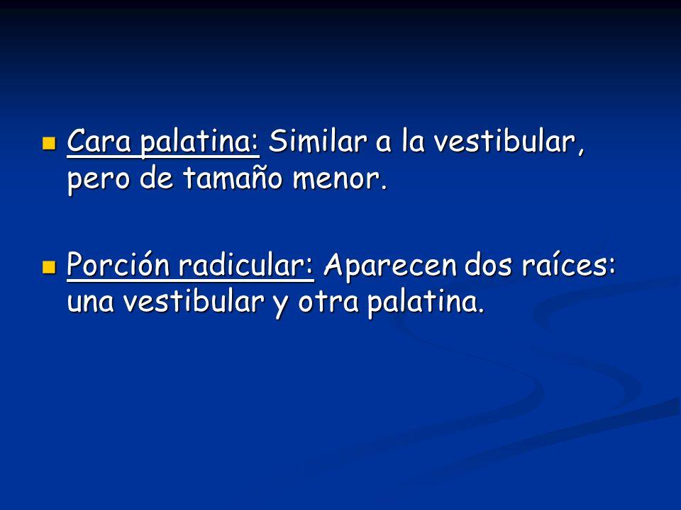 Cara palatina: Similar a la vestibular, pero de tamaño menor.