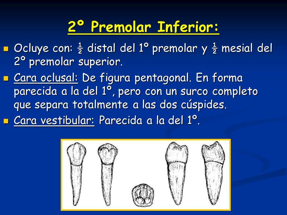 2º Premolar Inferior: Ocluye con: ½ distal del 1º premolar y ½ mesial del 2º premolar superior.