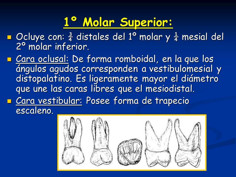 1º Molar Superior: Ocluye con: ¾ distales del 1º molar y ¼ mesial del 2º molar inferior.