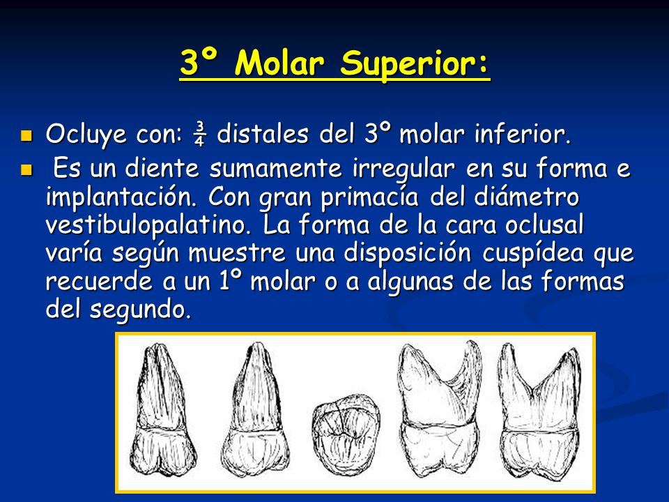 3º Molar Superior: Ocluye con: ¾ distales del 3º molar inferior.