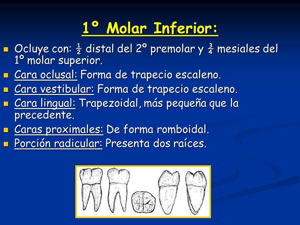 1º Molar Inferior: Ocluye con: ½ distal del 2º premolar y ¾ mesiales del 1º molar superior. Cara oclusal: Forma de trapecio escaleno.