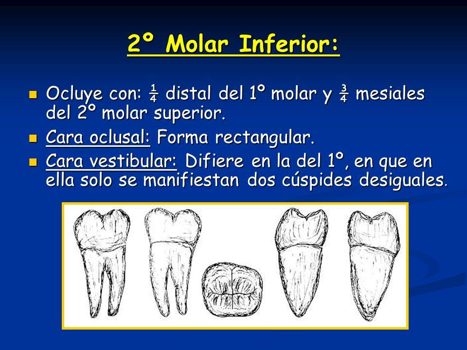 2º Molar Inferior: Ocluye con: ¼ distal del 1º molar y ¾ mesiales del 2º molar superior. Cara oclusal: Forma rectangular.