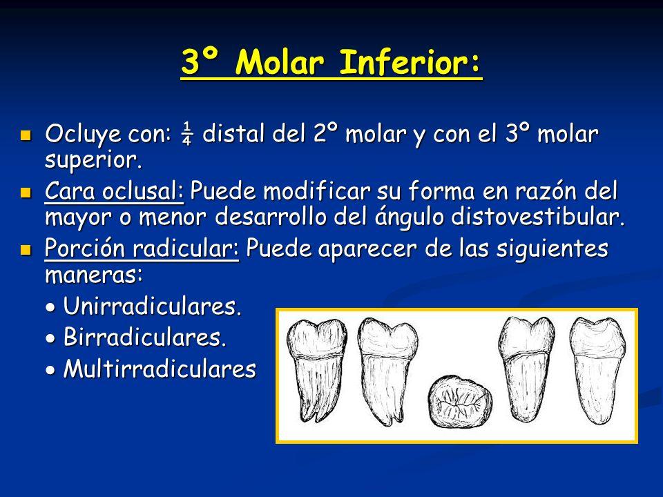 3º Molar Inferior: Ocluye con: ¼ distal del 2º molar y con el 3º molar superior.