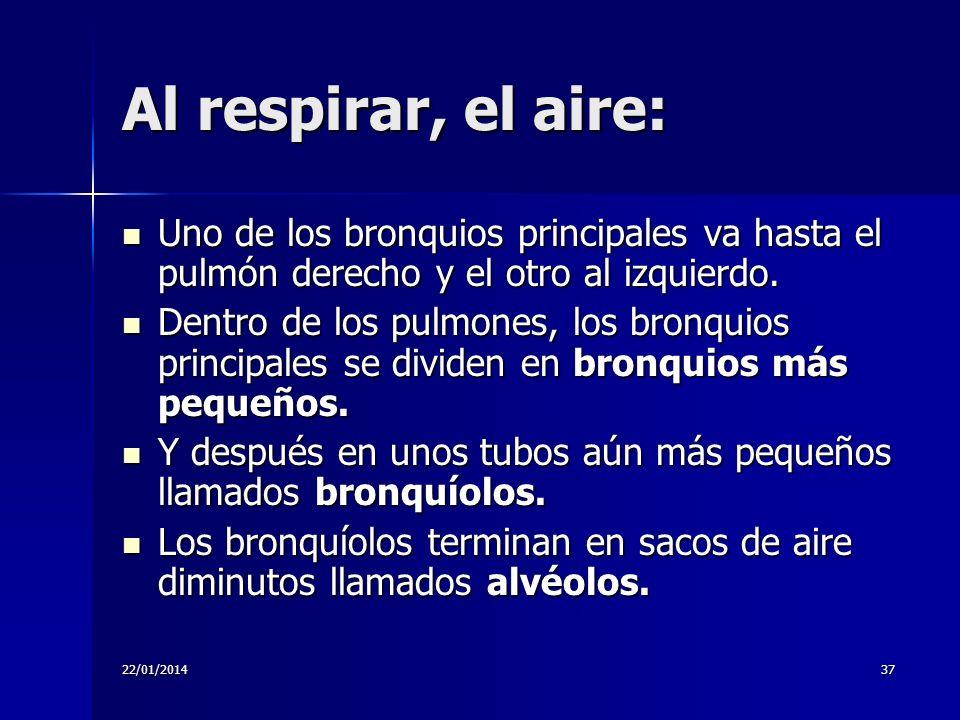 Al respirar, el aire: Uno de los bronquios principales va hasta el pulmón derecho y el otro al izquierdo.