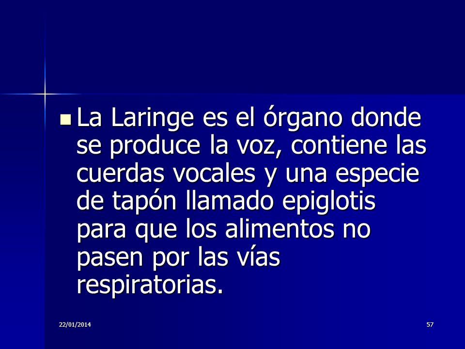La Laringe es el órgano donde se produce la voz, contiene las cuerdas vocales y una especie de tapón llamado epiglotis para que los alimentos no pasen por las vías respiratorias.