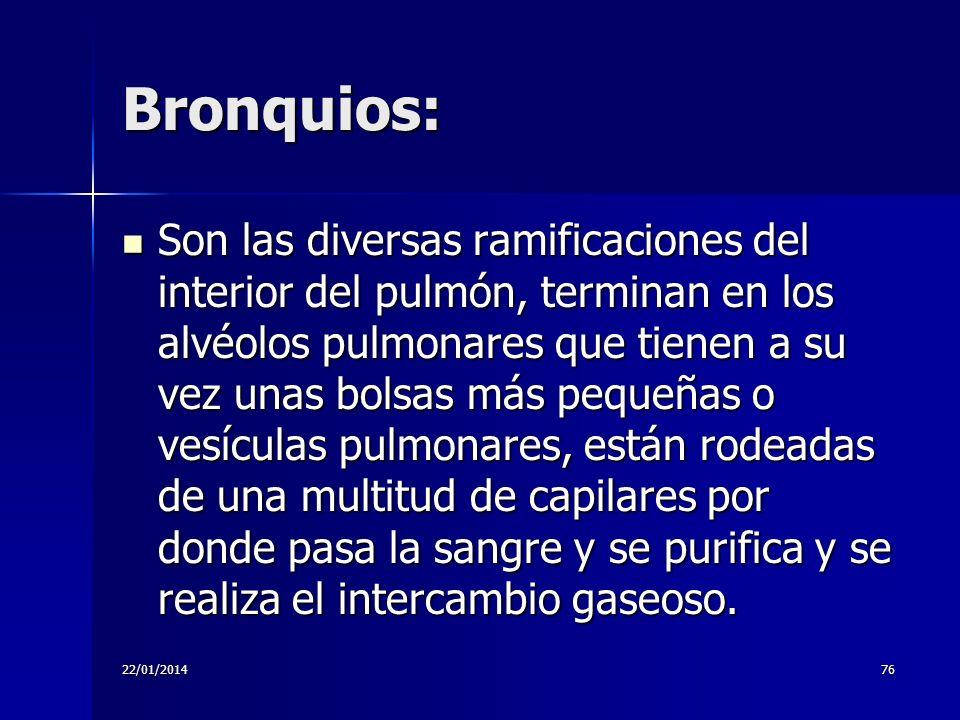 Bronquios: