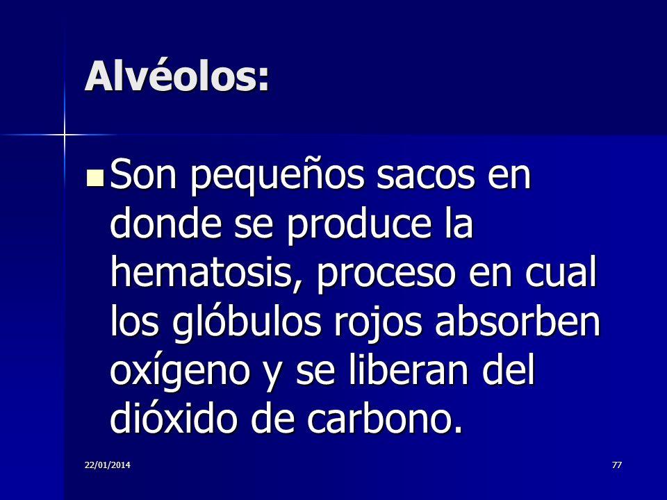 Alvéolos: