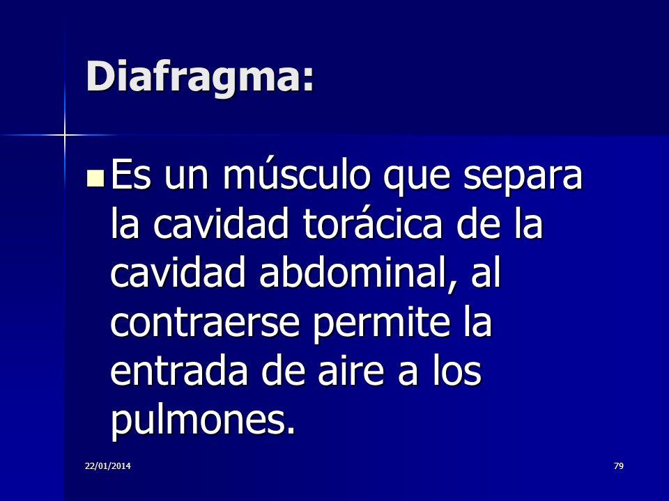 Diafragma: Es un músculo que separa la cavidad torácica de la cavidad abdominal, al contraerse permite la entrada de aire a los pulmones.